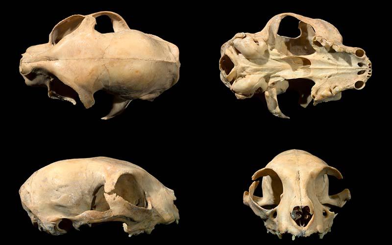 ancient kitty skull